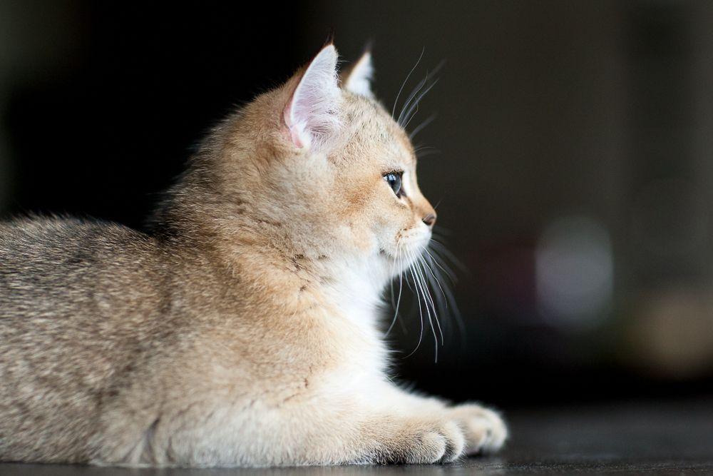 Perchik, Myata, cats, bri cats, british shorthair, ny 25