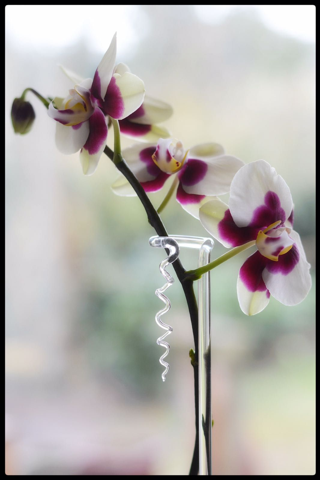 Mooie oplossing voor het ondersteunen van orchideeën. De flowerpin van mooibijplanten.nl