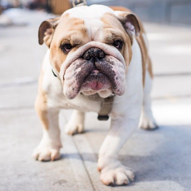 English Bulldog Cute Dogs Puppies Dogs Dogs Puppies