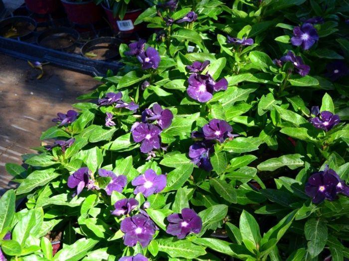 Den Schatten Im Garten Können Sie Perfekt Mit Immergrün Gestalten ... Welche Blumen Im Schatten Garten Pflanzen