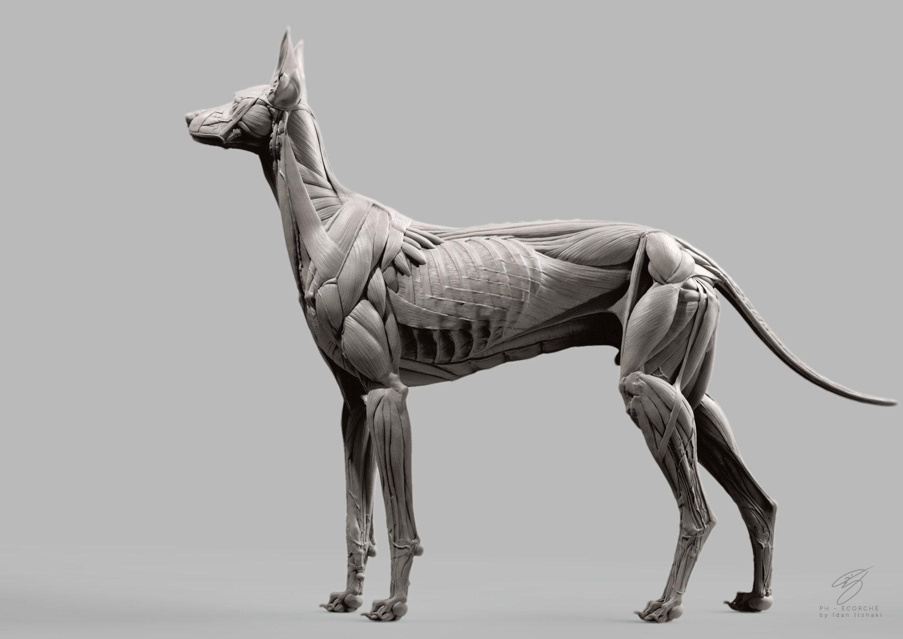 ArtStation - Canine Écorché, Idan Itzhaki | Dessins anatomique ...