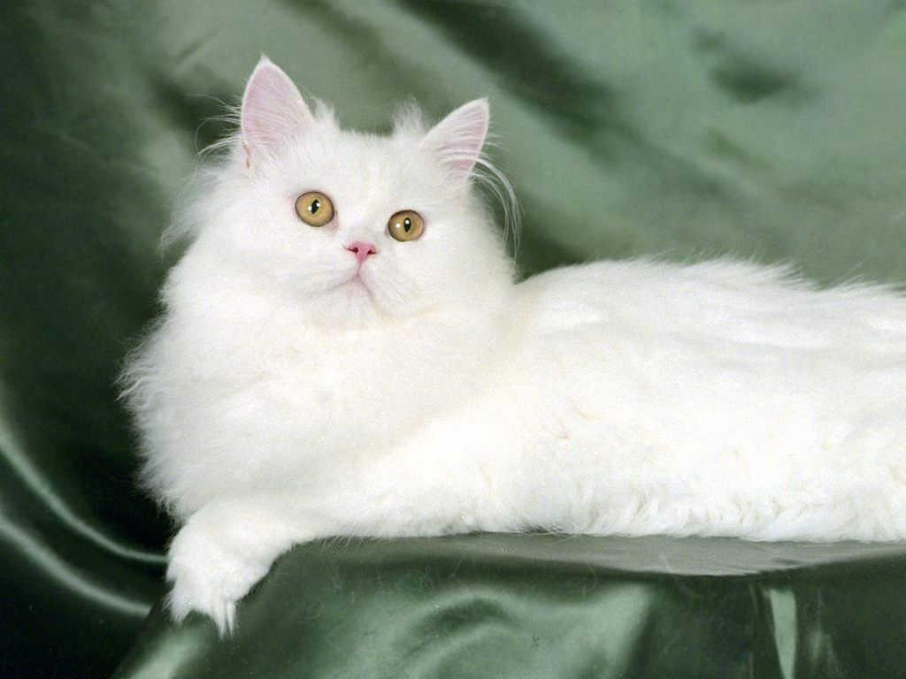 10 Fun Facts About Persian Cats In