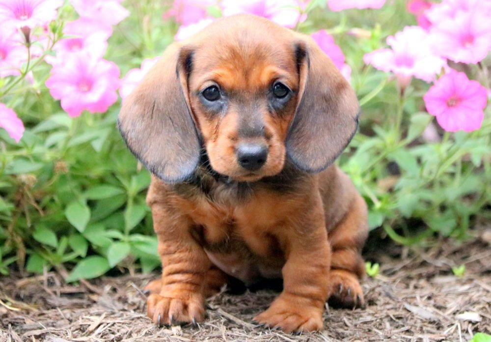 Sandy Miniature Puppies Puppies For Sale Dachshund Puppies For