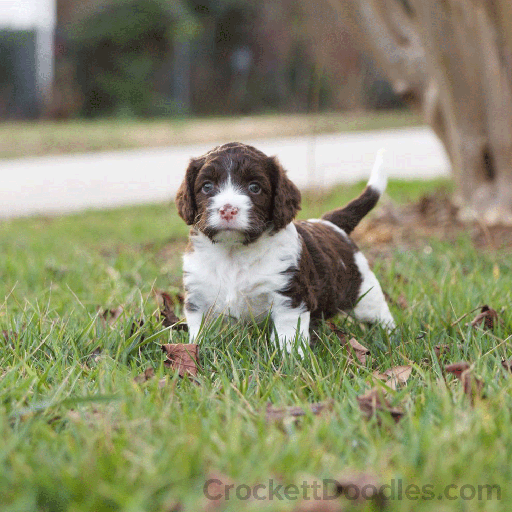 Mini Chocolate And White Springerdoodle Pup Springerdoodle Doodle Puppy Puppies