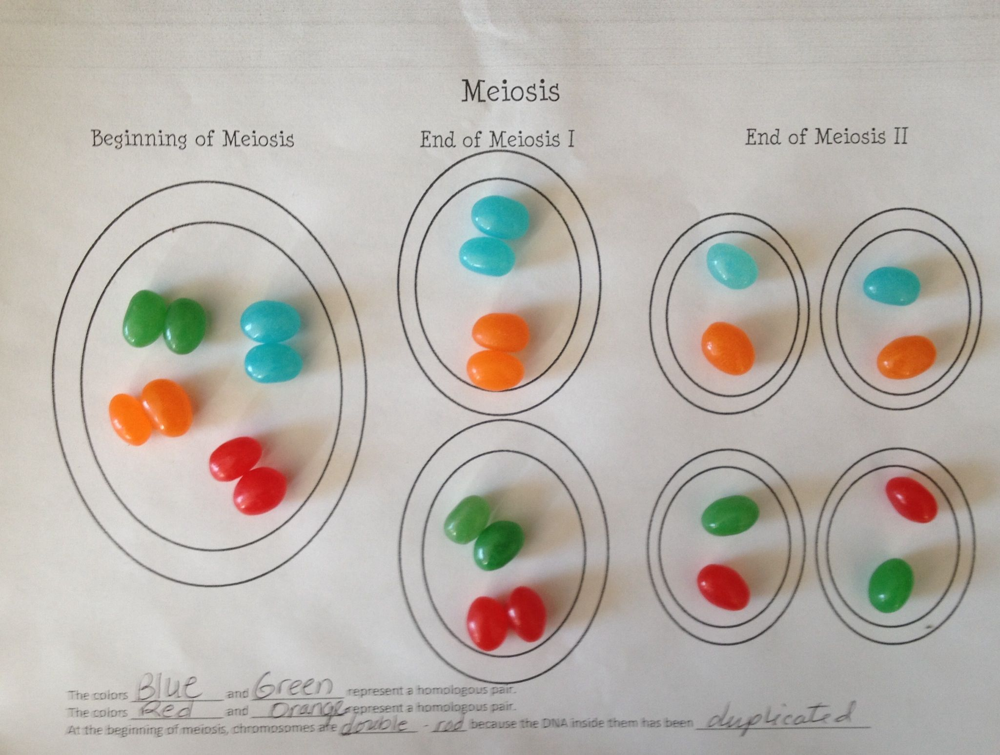 Model Of Meiosis Using Jelly Beans One Part Of A Longer Packet Which Included Additional Assessments Biology Classroom Biology Teacher Teaching Biology