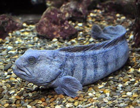 Wolffish Anarhichas Lupus Deep Sea Creatures Sea Creatures Arctic Animals