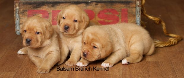 Teaka And Red Bull S Puppies 3 Weeks And A Day Lab Puppies