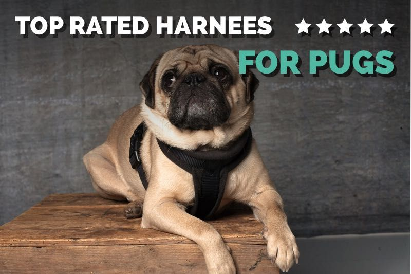 Top 7 Best Harness For Pug Reviews And Buyer S Guide 2017 Pugs
