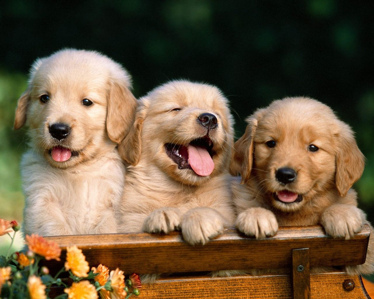 Golden retriever puppies..