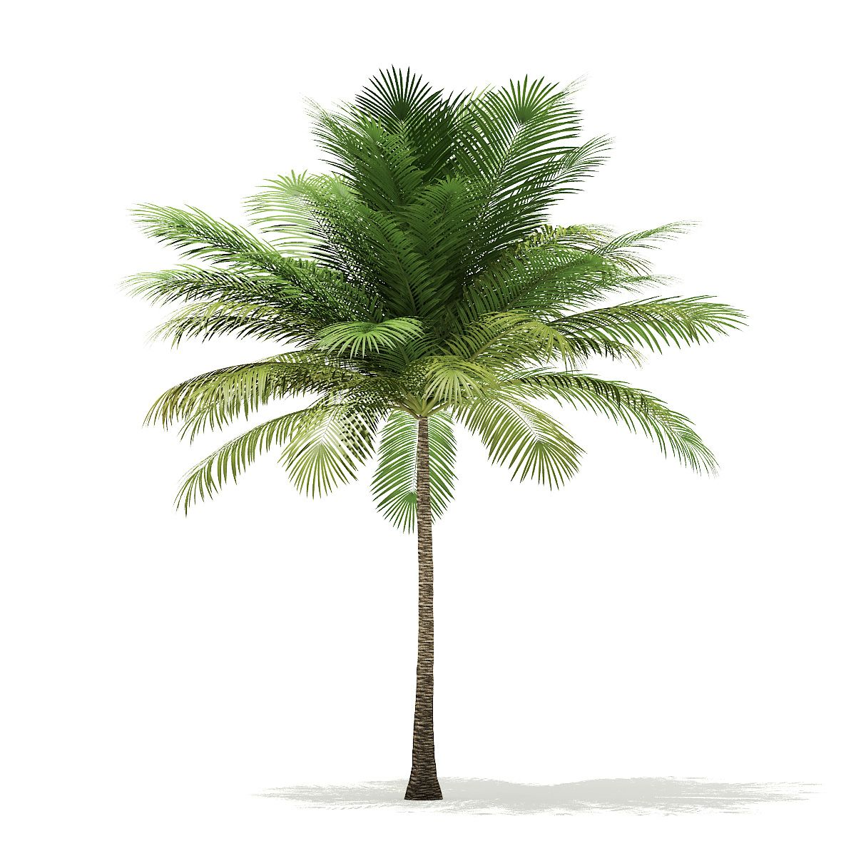 Coconut Palm Tree 3D Model 6m #Palm, #Coconut, #Model, #Tree