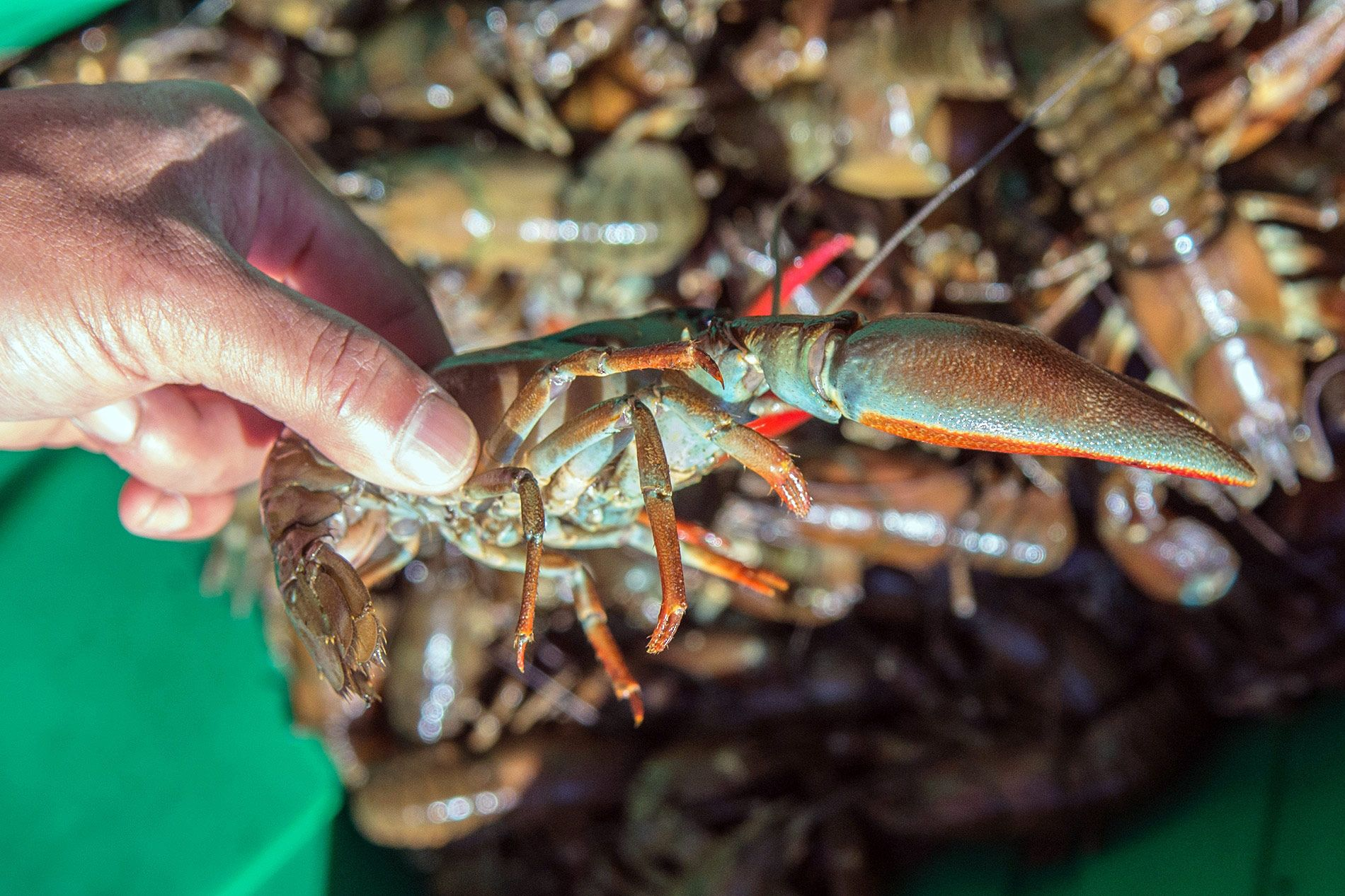 why aren't people eating washington's giant crawfish