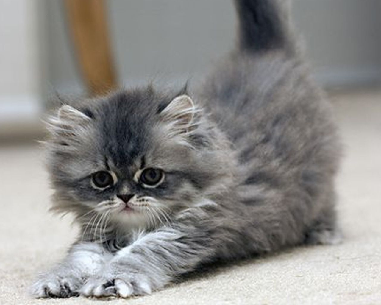 grey kitten Wallpaper Grey Gray Pinterest
