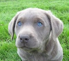 Silver labrador puppy with blue eyes.... absolutely