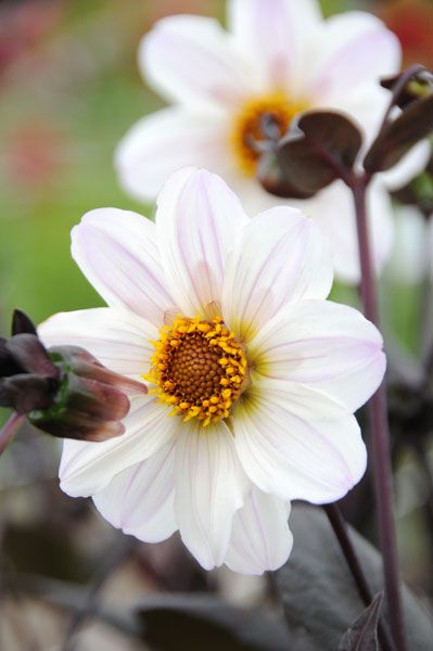 Buy Dahlia Tuber Dahlia Bishop Of Dover Delivery By Crocus Co Uk Dahlia Flower Garden Dahlia Flower Single Flower