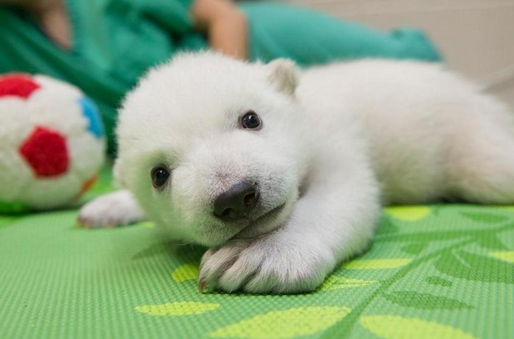 Pin On Polar Bear Cubs