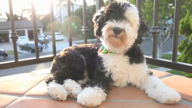 10 Things You Didn T Know About The Shepadoodle Sheepadoodle