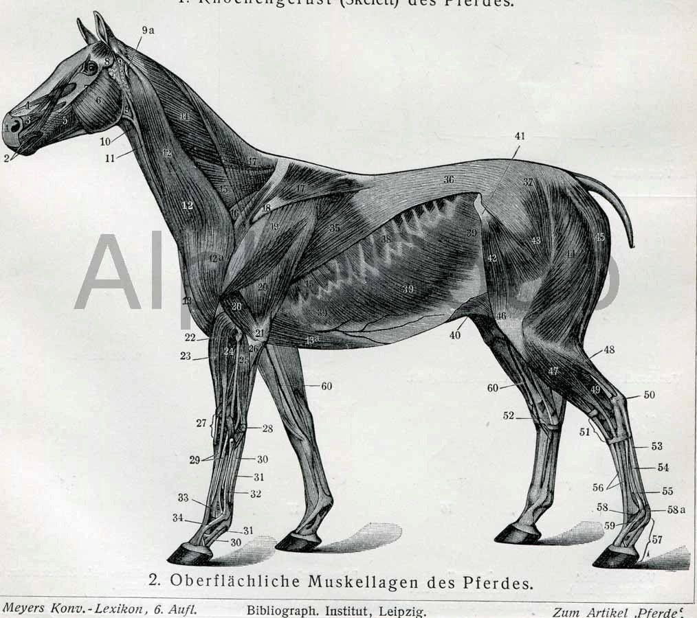 Halloween Horse Skeleton Bones Muscles Anatomy 1909 German Antique ...