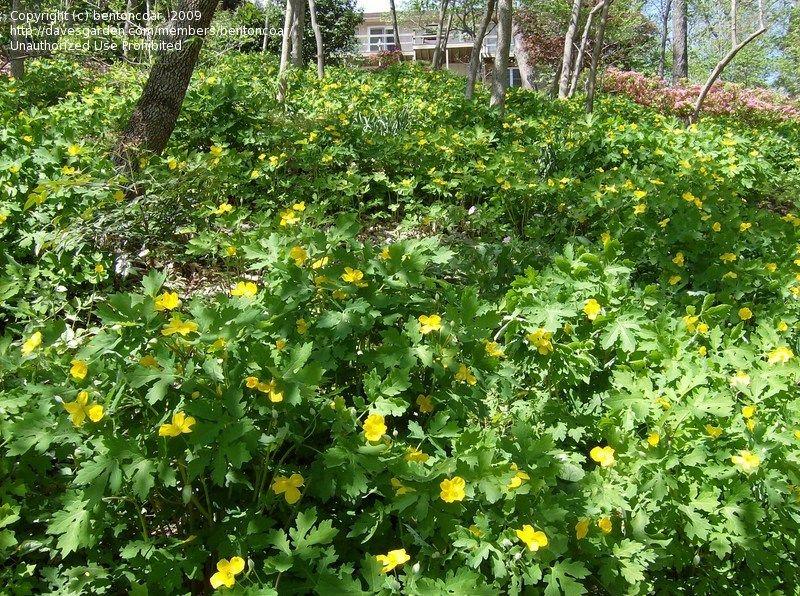 Celandine poppy wood poppy stylophorum diphyllum for Perennial wood