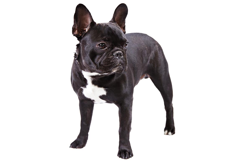 French Bulldog Dog Breed Information French Bulldog Dog French Bulldog Dog Breeds