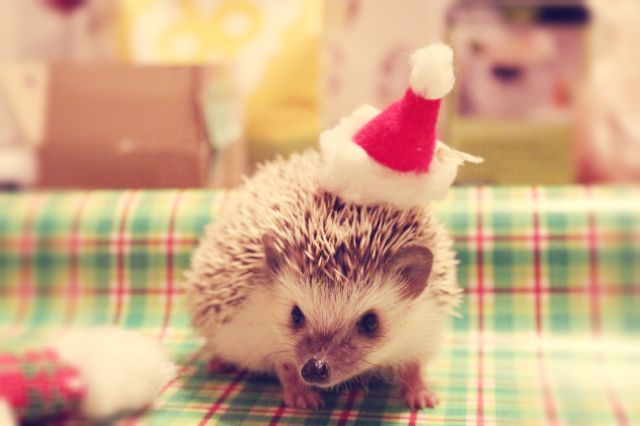 A Very Hedgehog Christmas Egels