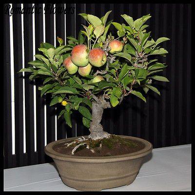 Apple Sapling Bonsai Starter Tree Outdoor Tree Edible Fruits Easy To Grow Bonsai Apple Tree Bonsai Flowering Trees