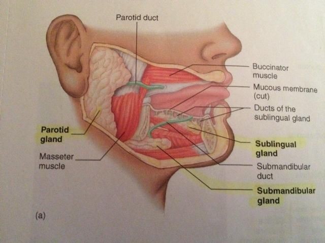 Image result for SUBMANDIBULAR GLAND MODEL | Anatomy | Pinterest