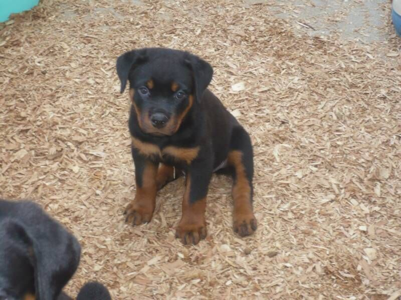 German Shepherd Rott Rottweiler Breeders Rottweiler Puppies For