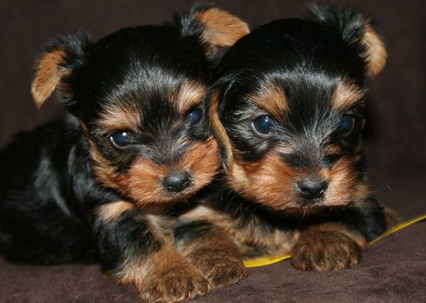 Oh Look Yorkie Twins Yorkie Puppies Cute Animals