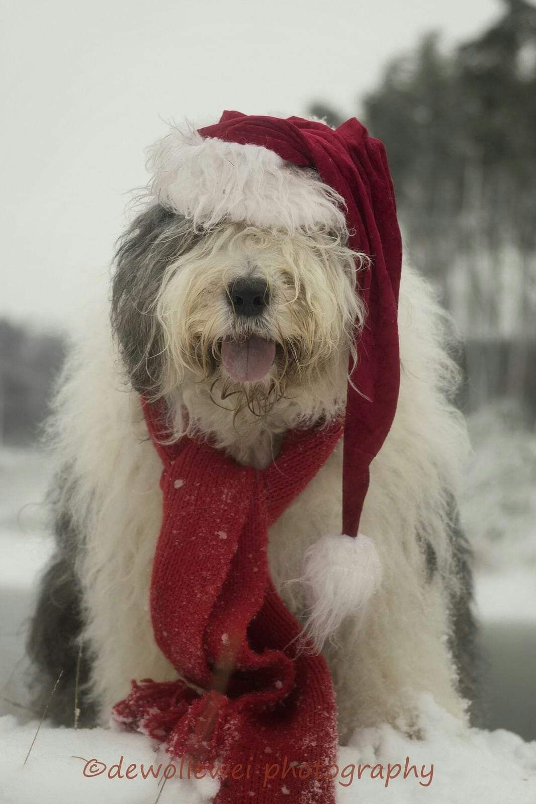 Pin By Kristy Harvey On Holiday Pets Old English Sheepdog