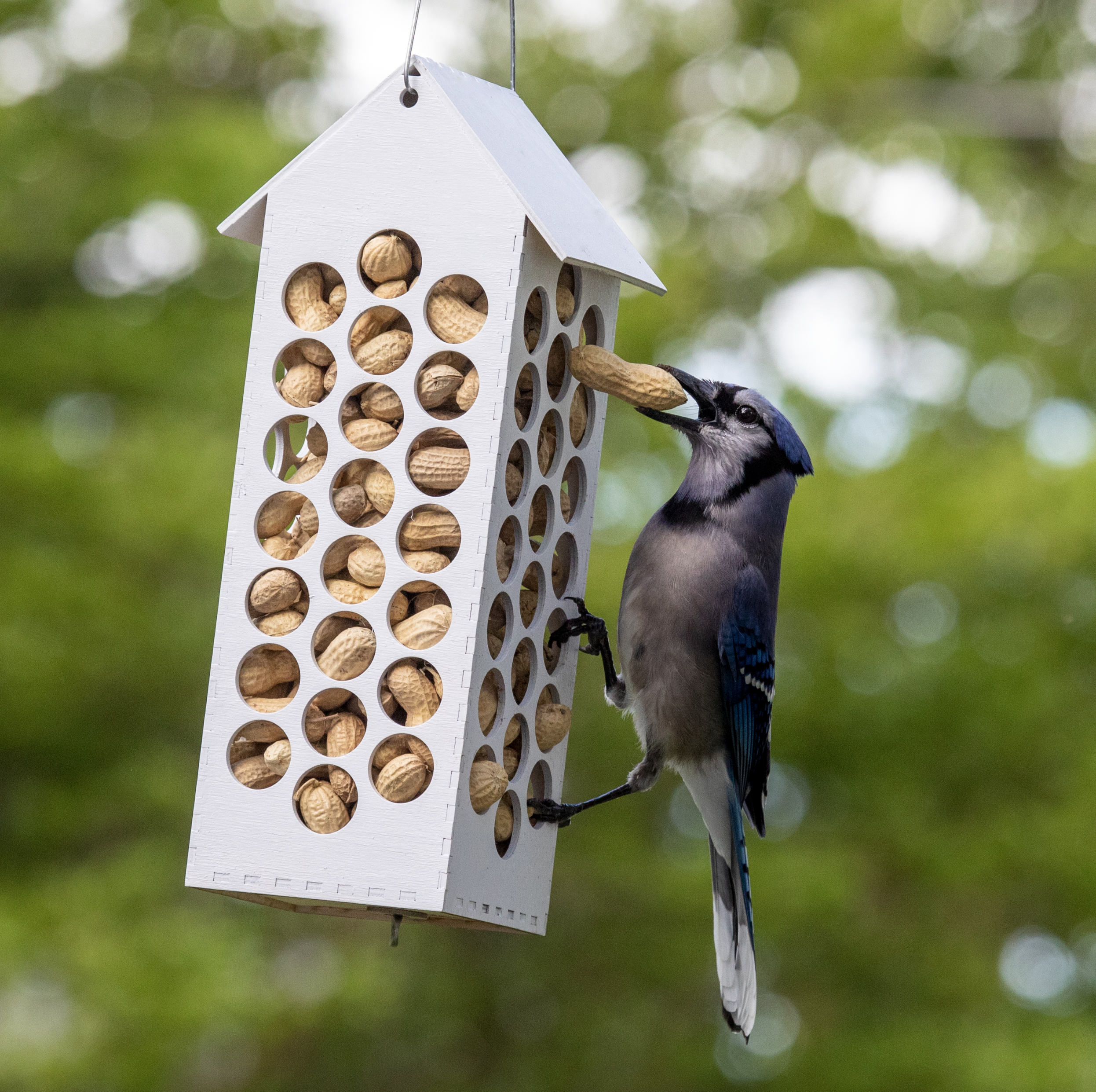 Itap Of A Blue Jay On A Homemade Peanut Feeder Photo Capture Nature Incredible Blue Jay Feeder Backyard Birds