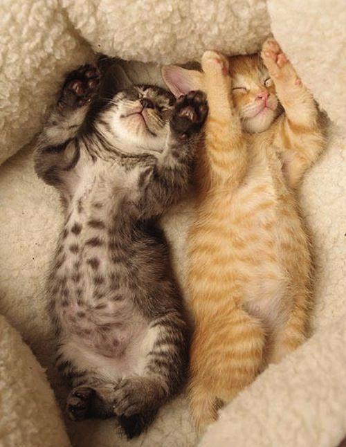 Synchronized Sleeping 子猫 かわいい子猫 かわいいペット
