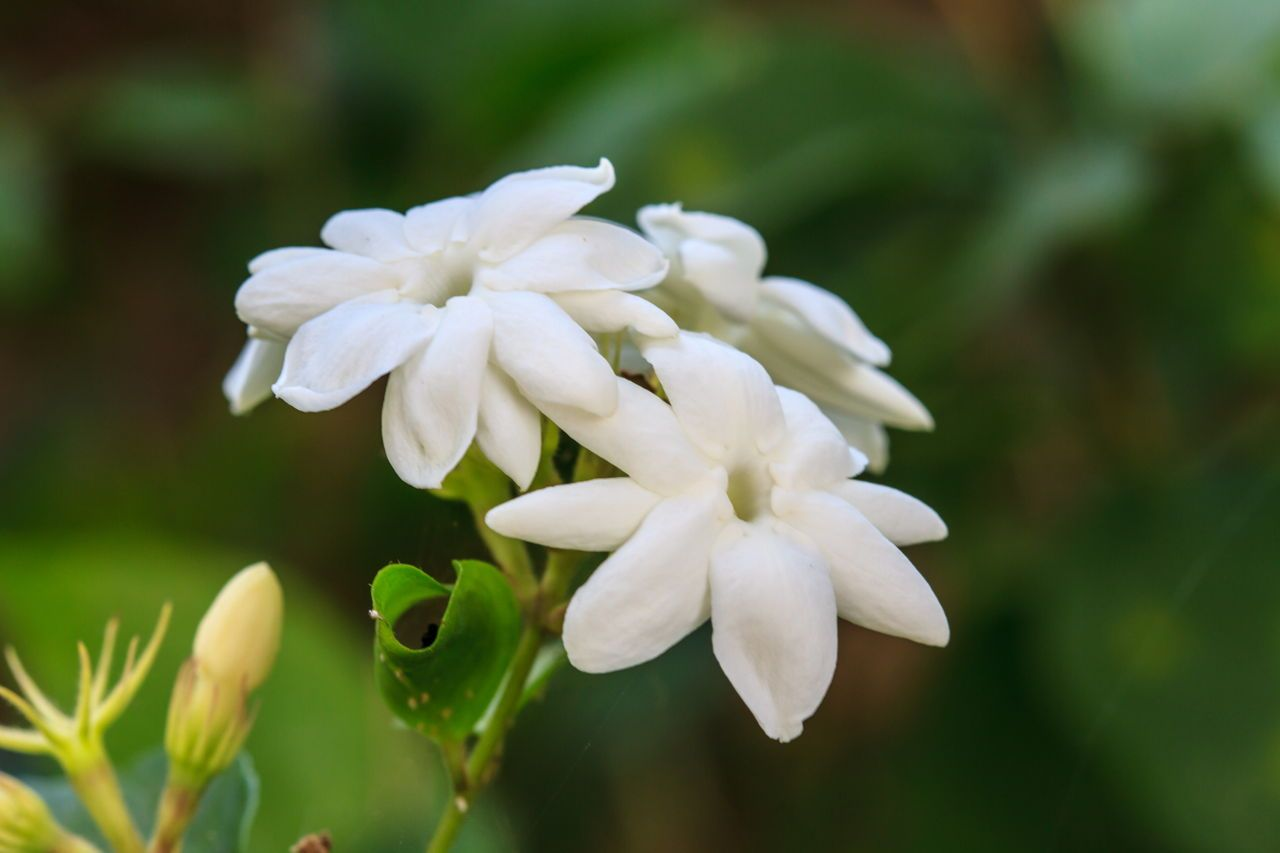 Study of the Sampaguita Flower The National Pride of