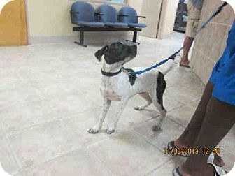 Melbourne, FL Catahoula Leopard Dog Mix. Meet A625576 a