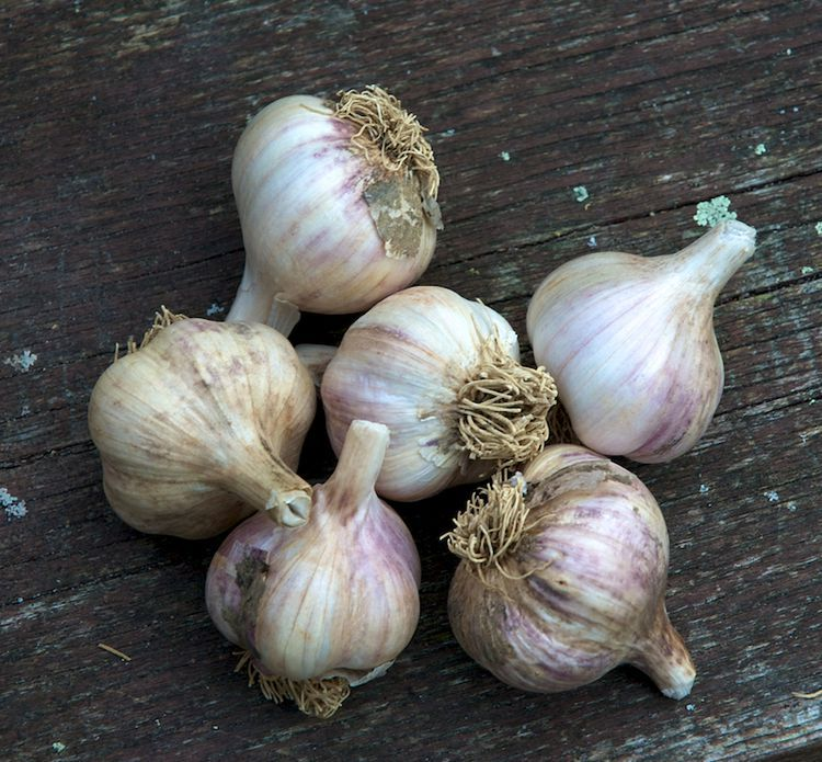 how to grow garlic in containers plants growing tomatoes growing tomatoes in containers plants. Black Bedroom Furniture Sets. Home Design Ideas