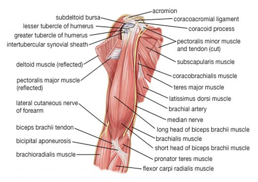 netter rib cage - Google 검색 | Massage therapy | Pinterest | Cuerpo ...