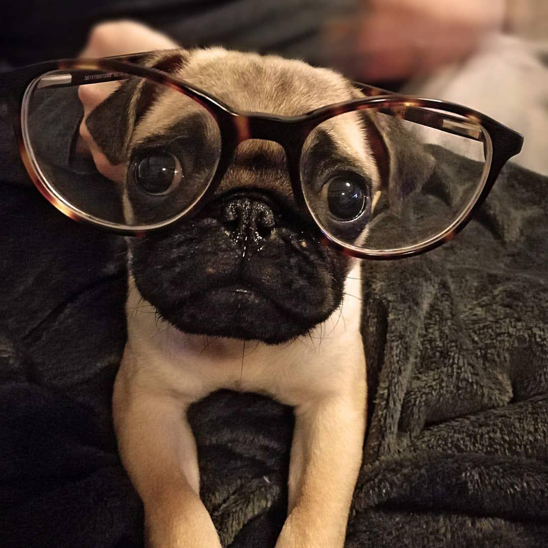 Smart Pug Https Ift Tt 2zfpyrf Cute Pug Puppies Pugs