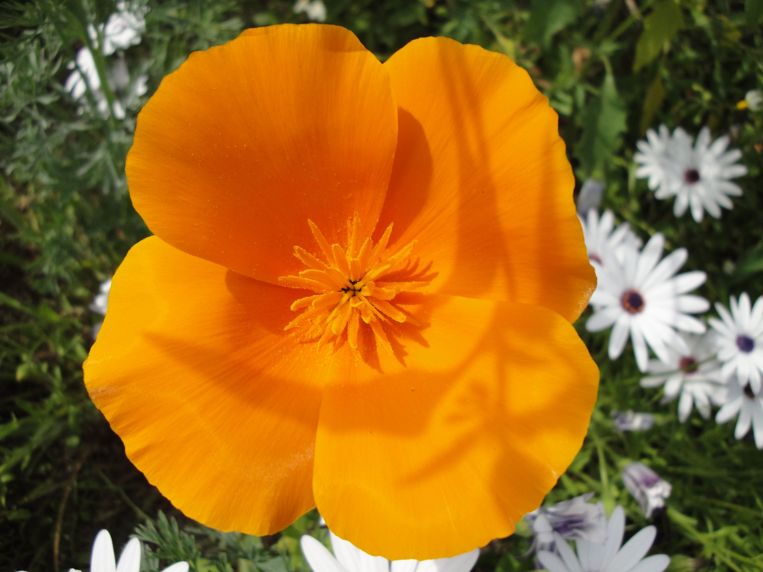 Pics For California State Flower Pictures