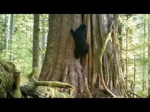 Black Bear Climbs Old-Growth Tree in Endangered Vancouver Island Forest - YouTube