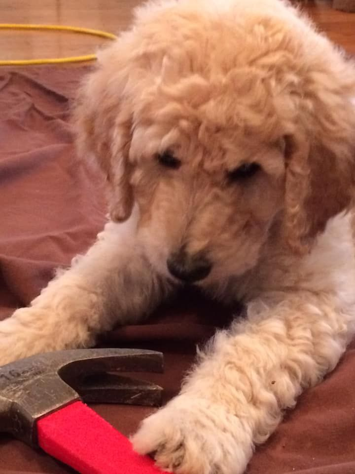 Previous Puppies Dashing Doodles In 2020 Goldendoodle