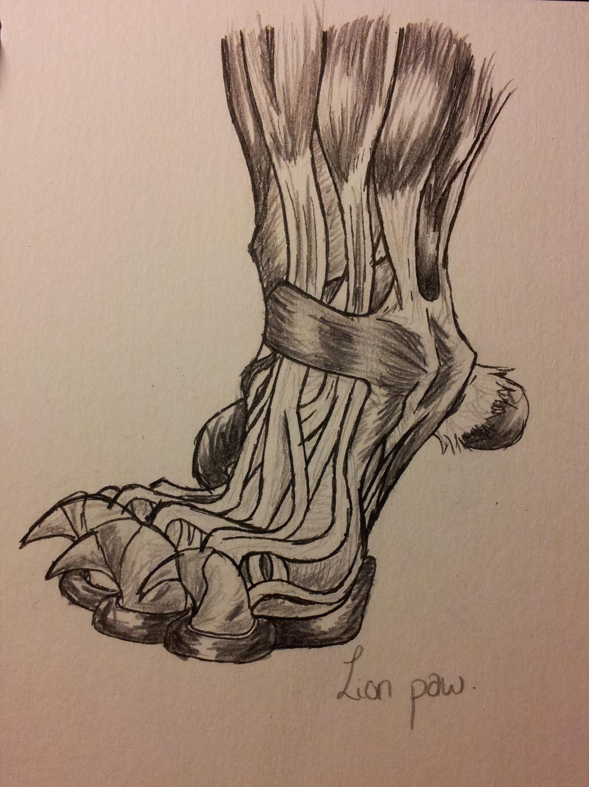 Lion Anatomy - Paw Muscle/Tendons by ~DigitalWolfCreations on ...