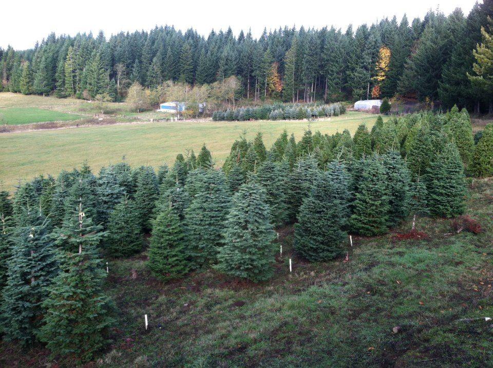 Rainy Mountain Farms Sandy Oregon Cool Christmas Trees Christmas Tree Farm Tree Farms