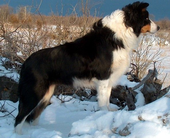 Pin By Dena Clavier On Dogs Australian Shepherd Australian Shepherd Dogs Collie Puppies For Sale
