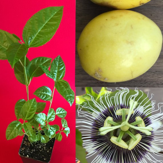 Yellow Passion Fruit Passiflora Edulis Potted Starter Plant Etsy Yellow Passion Fruit Starter Plants Passiflora