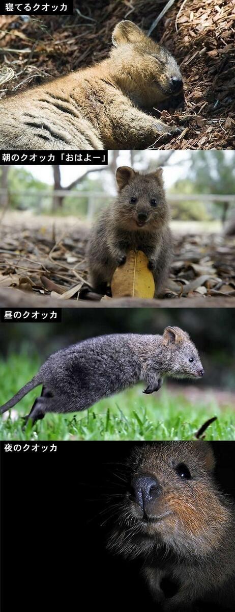 One day of Quokka   Cute animals, Worlds cutest animals ...