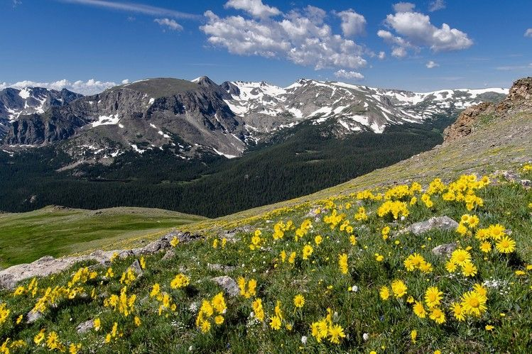 PEAKS AND PETALS   Wildflowers in bloom along Trail Ridge Road in Rocky Mountain National...