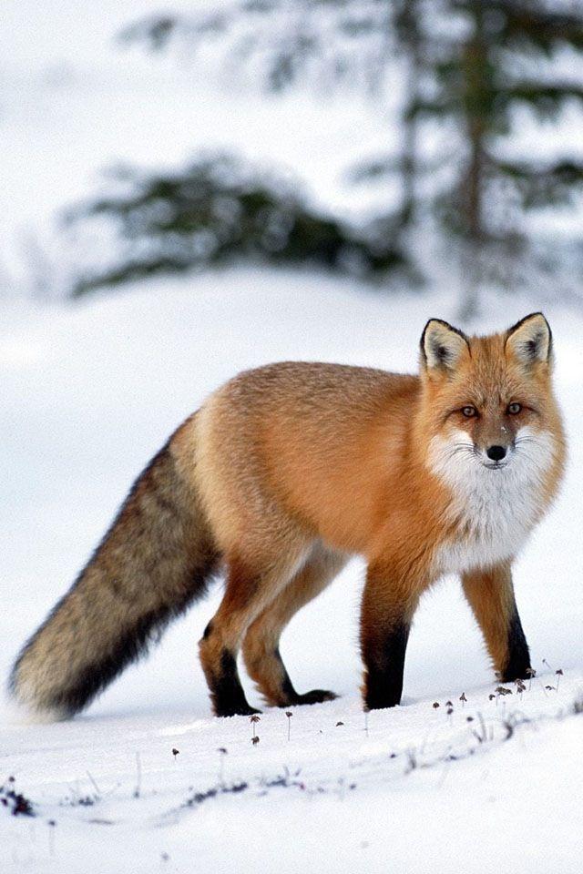 Red Fox | Wallpaper | Fuchs haustier, Ausgestopftes tier ...