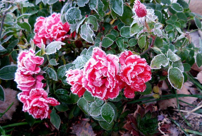 Pretty Frosted Roses