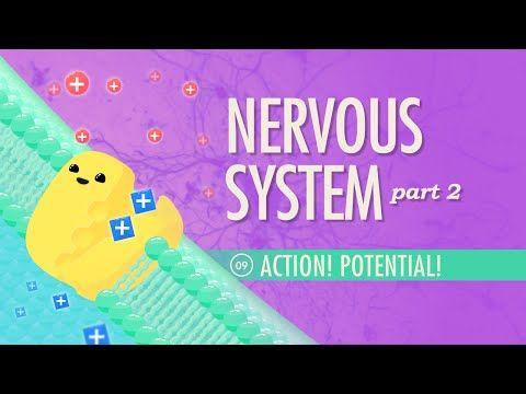 The Nervous System, Part 2 - Action! Potential! | Nervous system ...
