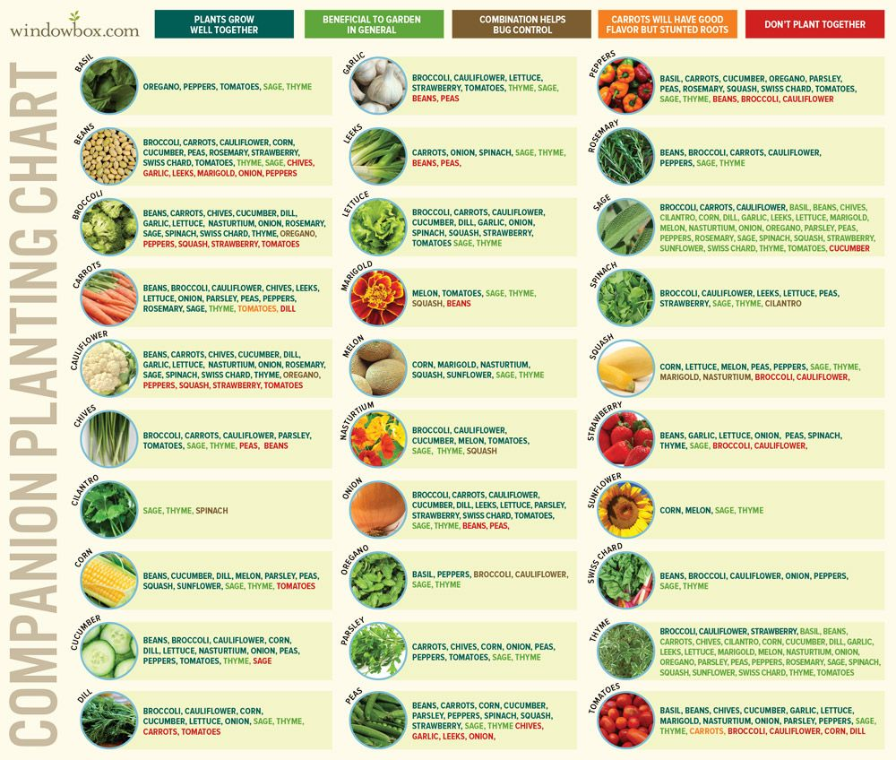 companion planting chart for vegetables and fruits gardening