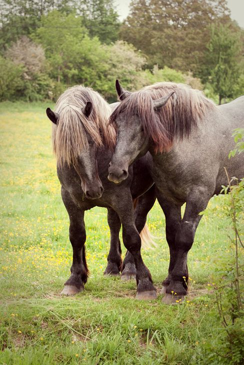 The Percheron Is A Breed Of Draft Horse That Originated In